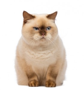 Fat British Shorthair, 2.5 years old, sitting and looking with suspicion in front of white background