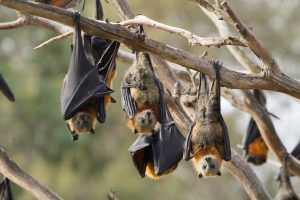 Group of Fruit Bats