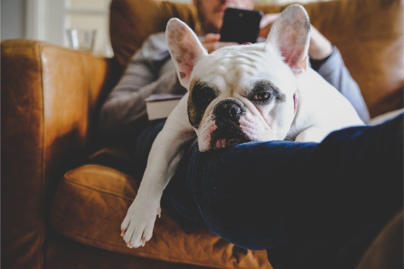 An unenthused bulldog lays on thee legs of his owner