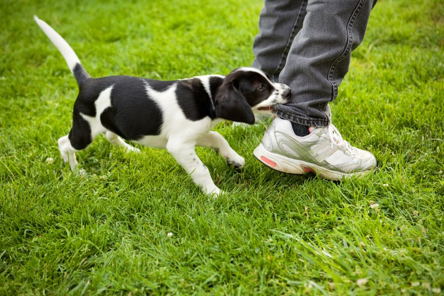 A dog bites someone's pant leg.