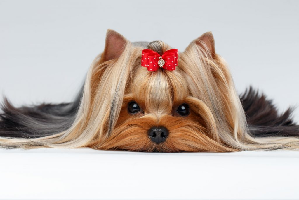 A yorkie terrier with a red bow.