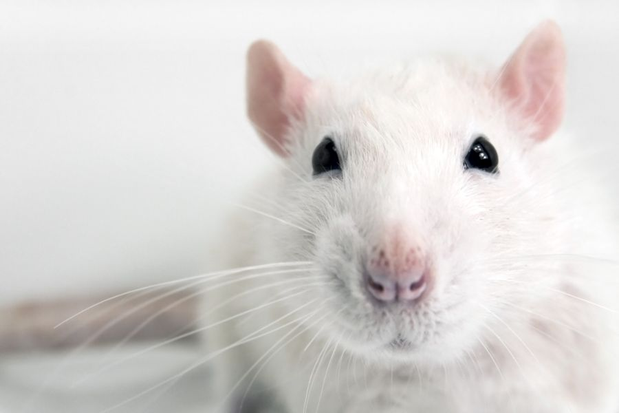 A white rat looks at the camera.
